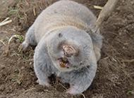 肉呼呼的草原鼢鼠图片
