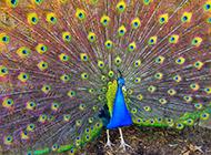漂亮精致的蓝孔雀图片