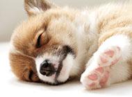 威爾士柯基犬懶洋洋睡覺圖片