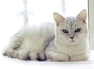 英短猫姿态慵懒高贵图片