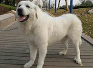 充滿自信的大白熊犬純種圖片