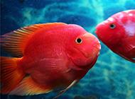 心形鸚鵡魚體色鮮紅圖片