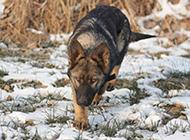 纯种东德牧羊犬冬天雪地玩耍图片