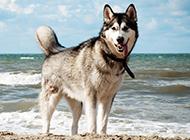 海边的成年阿拉斯加犬图片