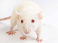 可爱的宠物小白鼠图片素材