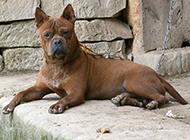 川东猎犬表情凶猛图片