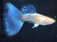 高清蓝孔雀鱼品种图欣赏