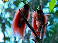 樹枝上的兩只極樂鳥圖片高清
