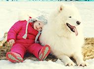 薩摩耶犬可愛唯美動物圖片壁紙