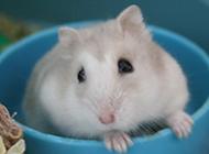 奶茶倉鼠賣萌的圖片大全