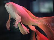 珍貴的龍鳳錦鯉圖片