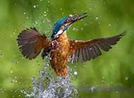 体羽艳丽的翠鸟高清摄影大图