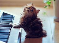 调皮呆萌的小波斯猫图片