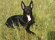 雄壮威武的纯种苏联红犬高清图片