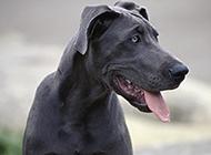 黑色大丹犬調皮吐舌特寫圖片