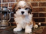 可愛的拉薩犬圖片大全