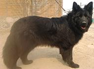 比利時黑熊犬帥氣特寫圖片