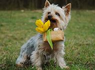 梗类犬机灵可爱图片