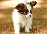 可愛萌寵蝴蝶犬幼犬圖片