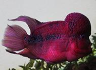 颜色夺目的德萨罗汉鱼图片