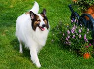 蘇格蘭牧羊犬公園散步大圖