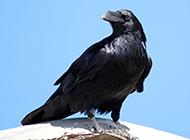 羽翼烏黑的高清烏鴉圖片