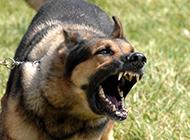 中華黑狼犬兇猛齜牙圖片特寫