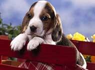 活泼可爱的比格犬高清图片