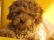 小巧呆萌的棕色玩具貴賓犬圖片
