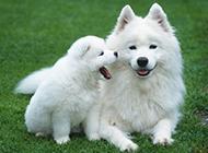 薩摩耶犬可愛唯美圖片壁紙
