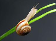 可爱小蜗牛微距特写图片