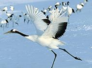 國家一級保護動物丹頂鶴圖片欣賞