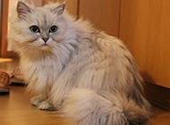 调皮爱玩的金吉拉猫图片