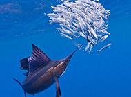 游速最快的魚類旗魚的圖片