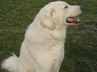 具有王者之气的大白熊犬图片