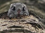 超萌寵物日本小飛鼠圖片