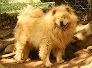 強壯的金黃松獅犬室外圖片