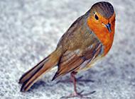知更鳥可愛活潑的圖片