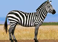 非洲草原斑马图片壁纸
