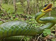 竹青蛇野生动物图片壁纸特写