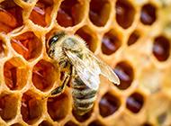 野生蜜蜂与蜂巢特写图片