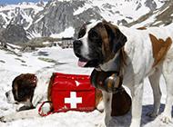 圣伯納犬雪地救援的圖片