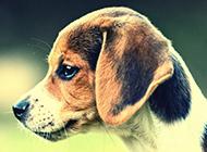 比格獵兔犬可愛神氣圖片