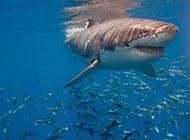 海底兇猛的鯊魚圖片