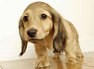 美国可卡犬幼犬可爱瞬间抓拍图片