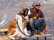 巨型圣伯纳犬温顺乖巧图片
