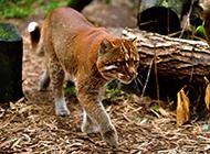 野生金猫步伐稳重图片
