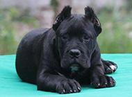 黑色的卡斯羅犬幼犬圖片