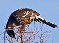 羽翼丰满的野生飞龙鸟图片
