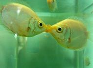 小型观赏鱼类接吻鱼精美图片